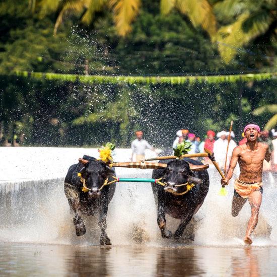 Kambala Buffalo Race Mangalore Uduppi Karnataka